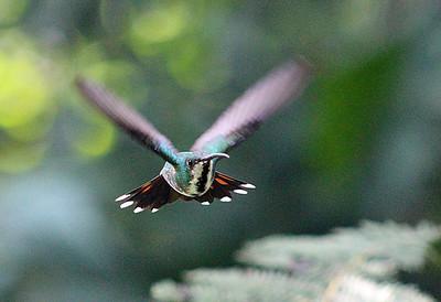 Green-breasted Mango Hummingbird female