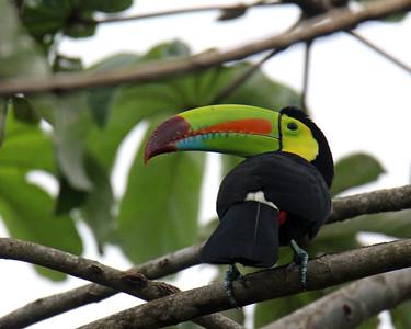Keel-billed Toucan