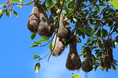 Nests of Montezuma Oropendola