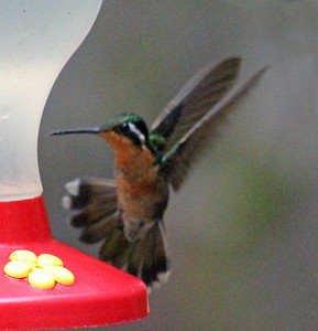 Purple-throated Mountain-Gem Hummingbird  female