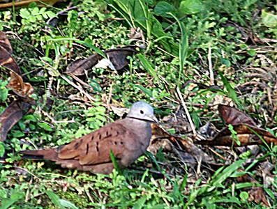 Ruddy Ground Dove female, Villas Rio Mar, Dominical