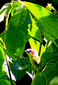Rufous-capped Warbler adult