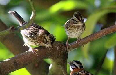 Rufous-collared Sparrow  Juvenile