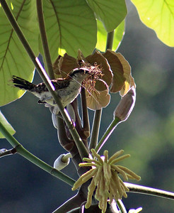 Rufous-naped Wren with Nesting Material
