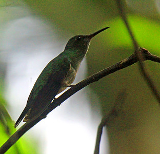 Scaly-breasted Hummingbird