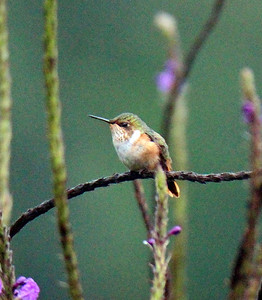 Scintillant Hummingbird