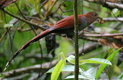 Squirrel Cuckoo with insect