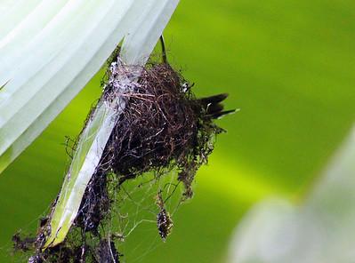 Stripe-throated Hermit Hummingbird Nest