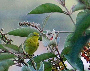 Yellow Warbler male juvenile