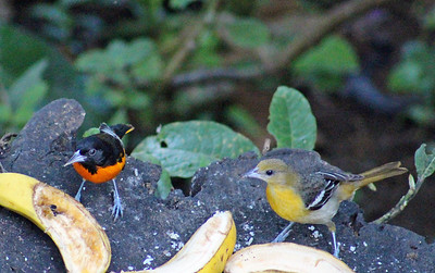 Baltimore Oriole, male & female