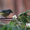Warbler Unknown
