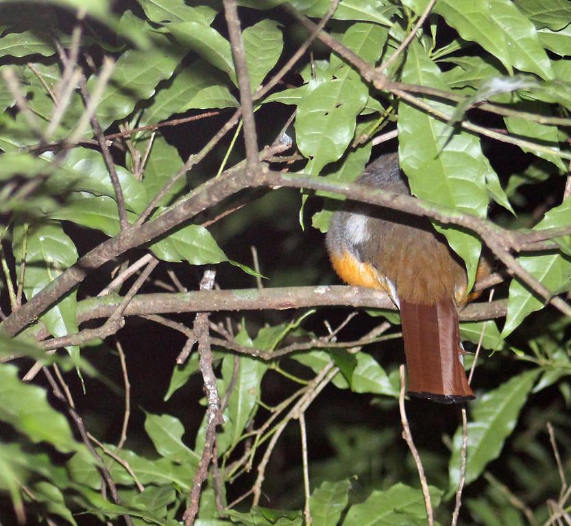 Orange-bellied Trogon female, Sleeping