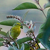 Yellow Warbler male juvenile