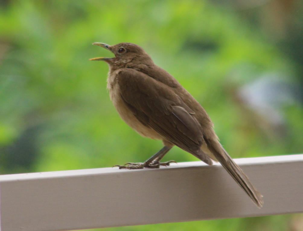 Clay-colored Thrush or Yigüirro . . . SINGING