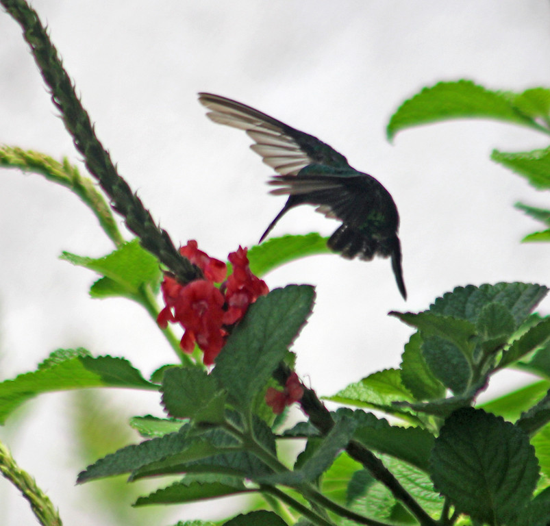 Fork-tailed Emerald Hummingbird