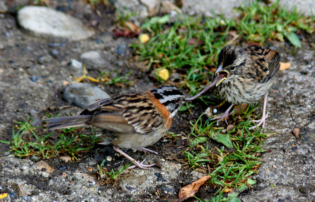 Rufous-collared Sparrow Feeding Young a Worm