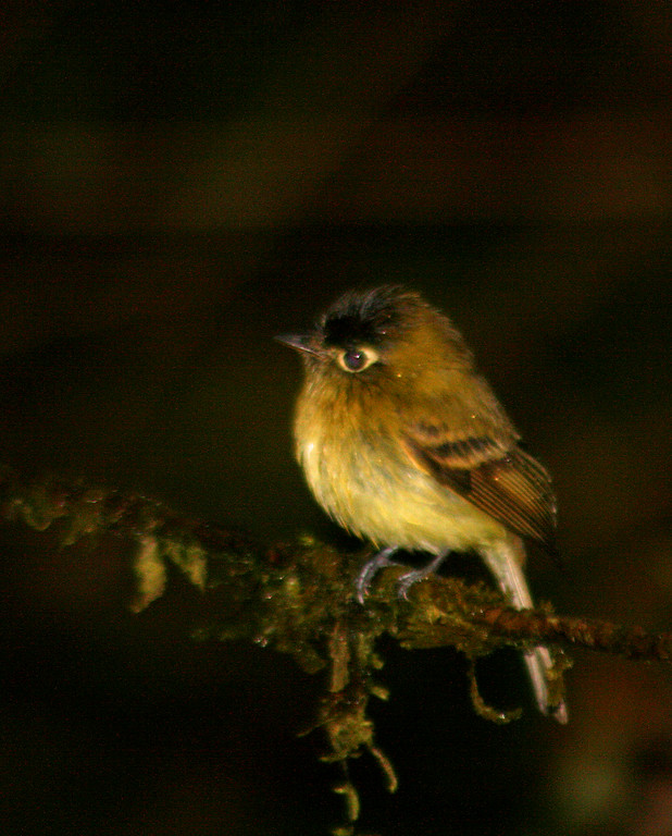 Yellowish Flycatcher juvenile