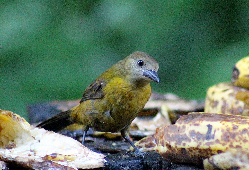 Unknown (Baltimore Oriole female? or White-shouldered Tanager or Gray-headed Tanager?)