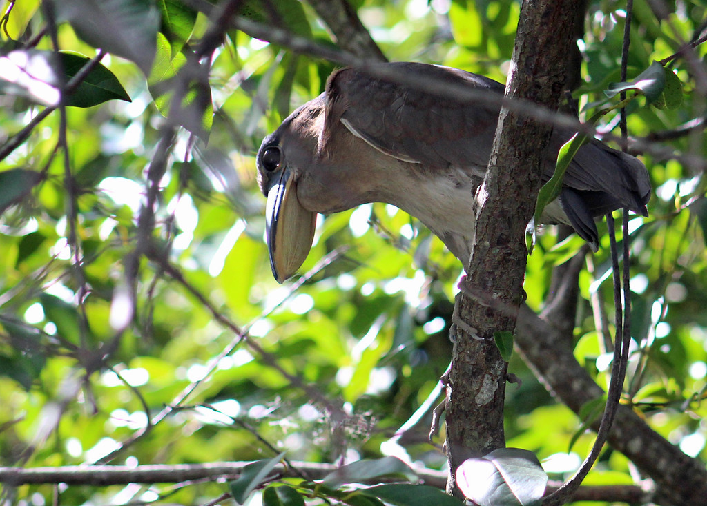 Boat-billed Heron
