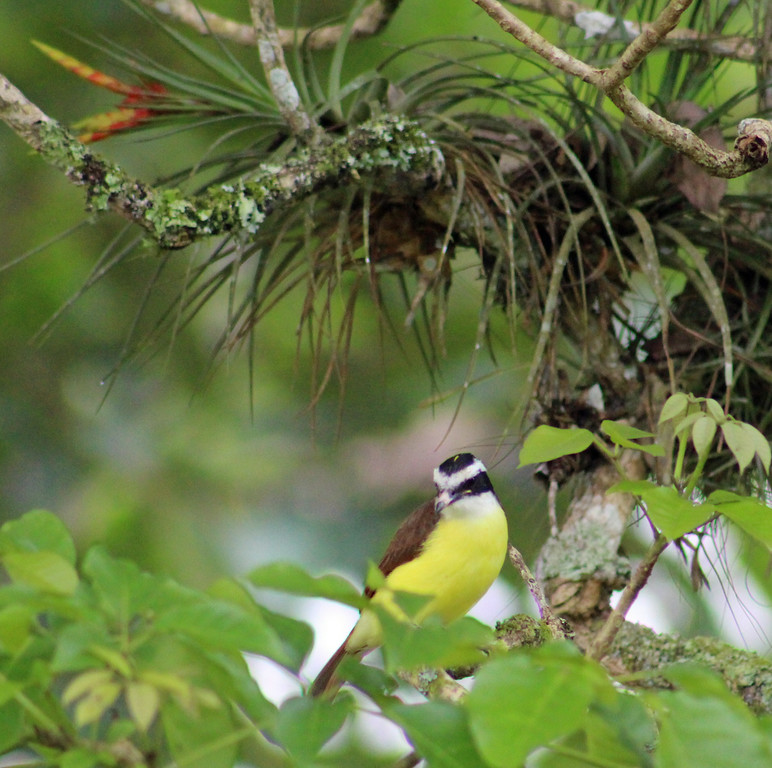 White-ringed Flycatcher or Great Kiskadee