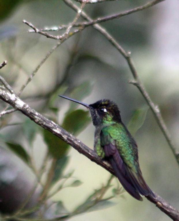 Violet-headed Hummingbird male