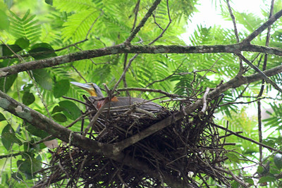 Bare-throated Tiger Heron Nesting