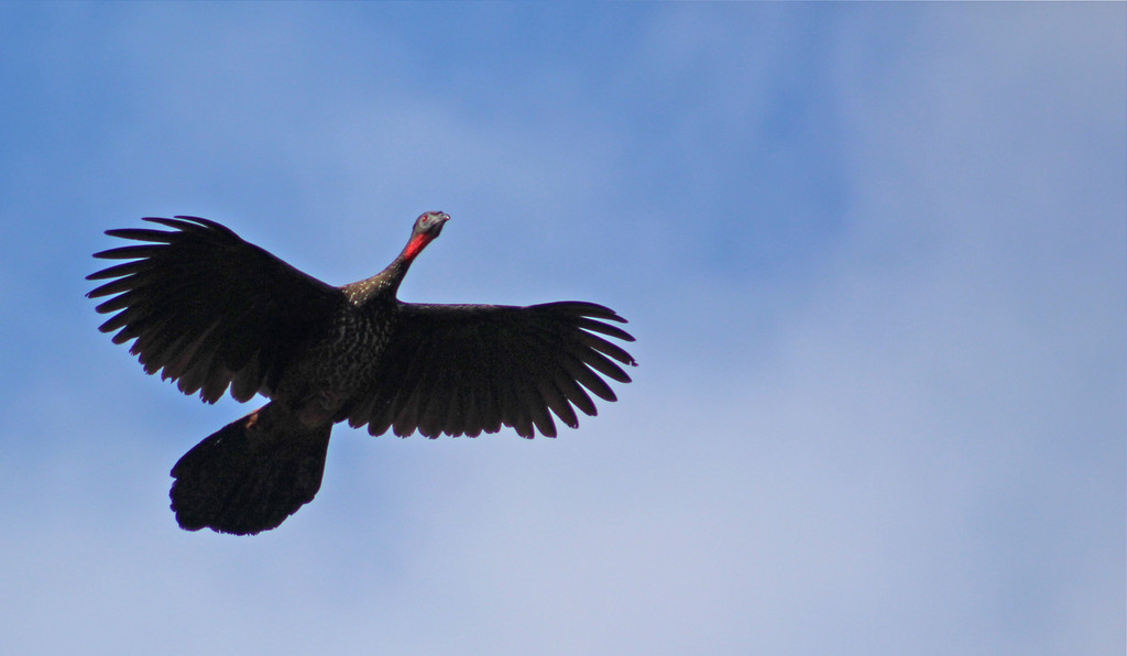 Crested Guan flying