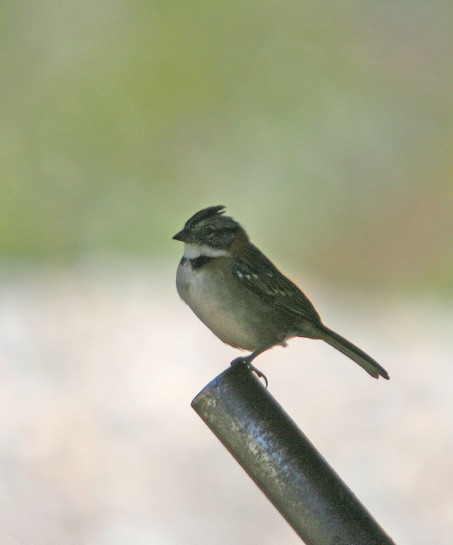 Unknown - possibly a rufous-collared sparrow without the color