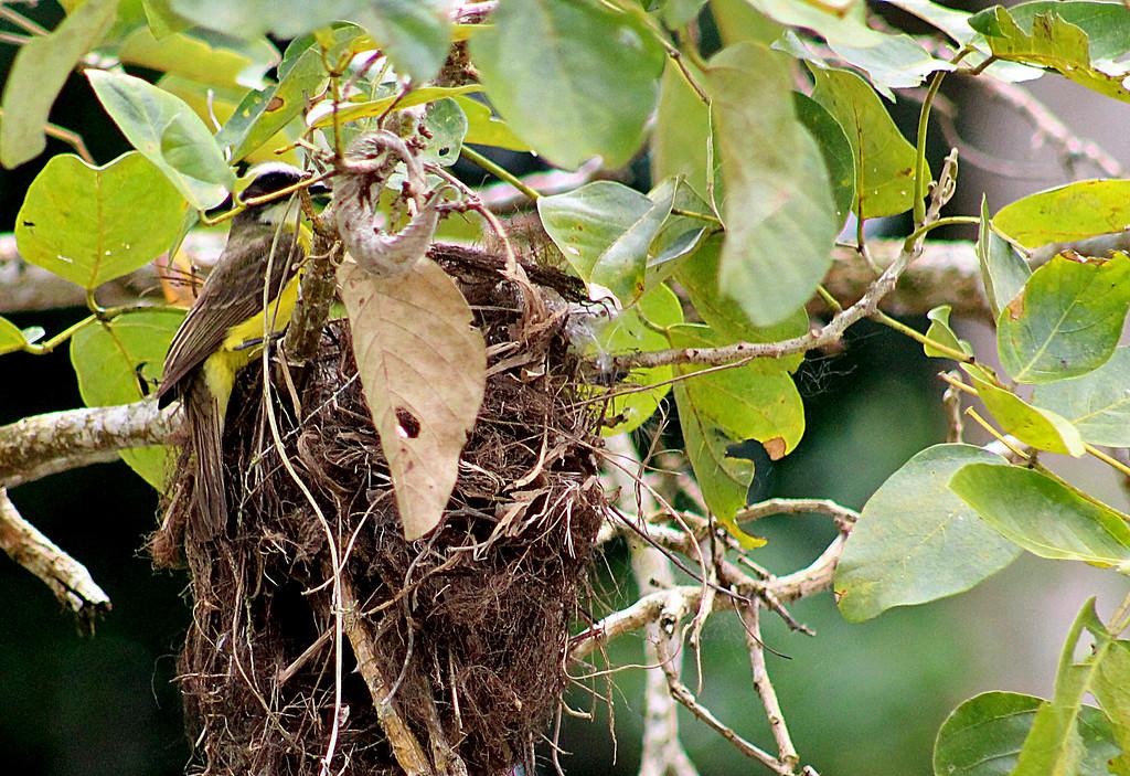 Social Flycatcher Nesting