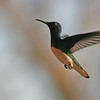 Hummingbirds on Osa Peninsula at Lookout Inn near Corcovado National Park, 1-27-09