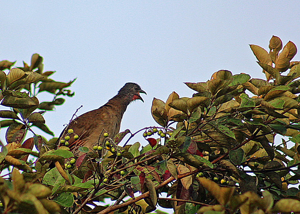 Gray-headed Chachalaca juvenile