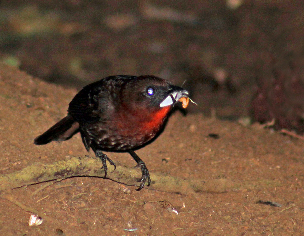 Red-throated Ant-tanager male