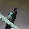 Purple-throated Mountain Gem Hummingbird, male