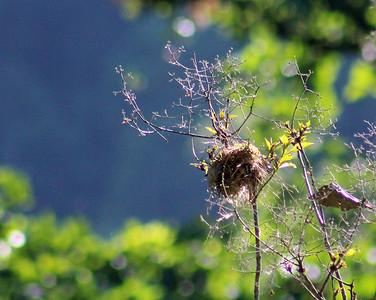Bananaquit Nest