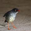 Slaty-backed Nightingale-thrush, juvenile
