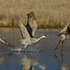 Seven individual photographs of a Sandhill Crane taking off stitched together in Photoshop [December; Bosque del Apache National Wildlife Refuge, San Antonio, New Mexico]