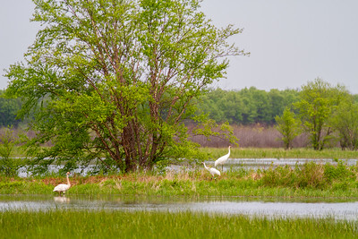Whooping Crane Necedah National Wildlife Refuge Necedah WI -1351