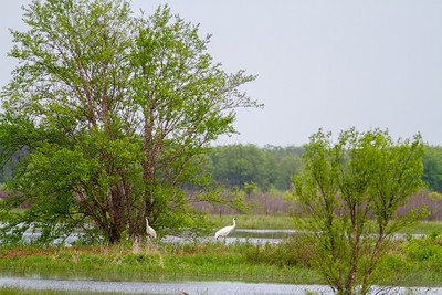 Whooping Crane Necedah National Wildlife Refuge Necedah WI -1321