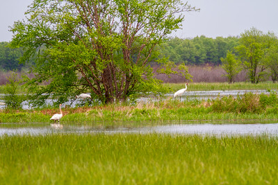 Whooping Crane Necedah National Wildlife Refuge Necedah WI -1359