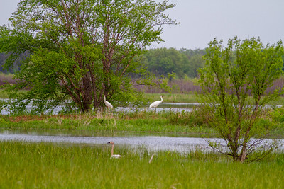 Whooping Crane Necedah National Wildlife Refuge Necedah WI -1312