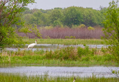 Whooping Crane Necedah National Wildlife Refuge Necedah WI -1335