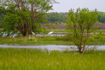Whooping Crane Necedah National Wildlife Refuge Necedah WI -1298