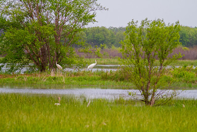 Whooping Crane Necedah National Wildlife Refuge Necedah WI -1304