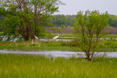 Whooping Crane Necedah National Wildlife Refuge Necedah WI -1302