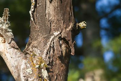 Brown Creeper on dead tree Skogstjarna Carlton County MN -2955