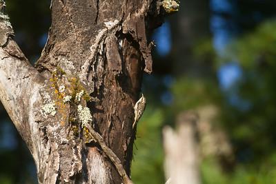 Brown Creeper on dead tree Skogstjarna Carlton County MN -2953