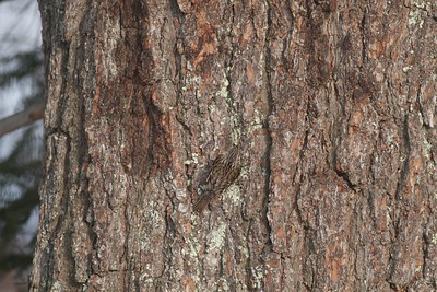 Brown Creeper camouflaged cryptic White Pine trunk Owl Ave feeders Sax-Zim Bog MN IMG_4721