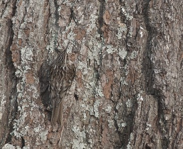 Brown Creeper camouflaged cryptic White Pine trunk Owl Ave feeders Sax-Zim Bog MN IMG_4710