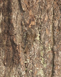 Brown Creeper camouflaged cryptic White Pine trunk Owl Ave feeders Sax-Zim Bog MN IMG_4719