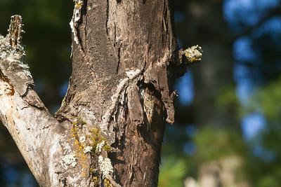 Brown Creeper on dead tree Skogstjarna Carlton County MN -2956